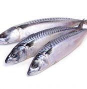 mackerel fish titus